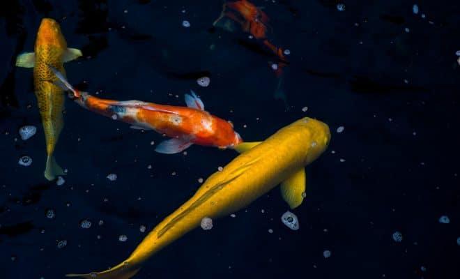 Construire un bassin avec des carpes koï et d'autres poissons japonais